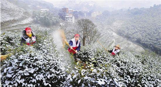 抗雪保春茶(图)