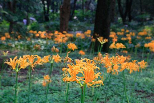 图为:大片盛开的黄色彼岸花。王远