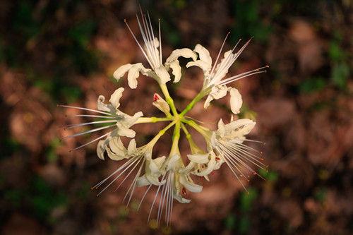 图为:盛开的浅黄色彼岸花。王远