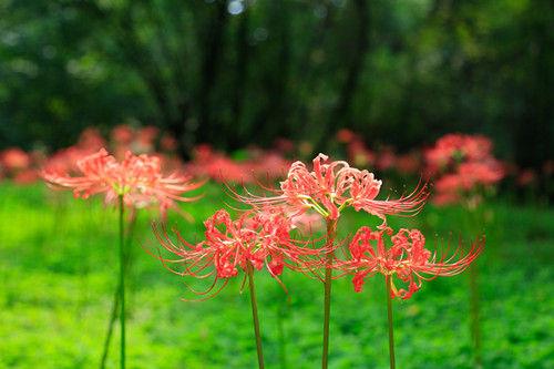 图为:大片红色彼岸花正在盛开。王远