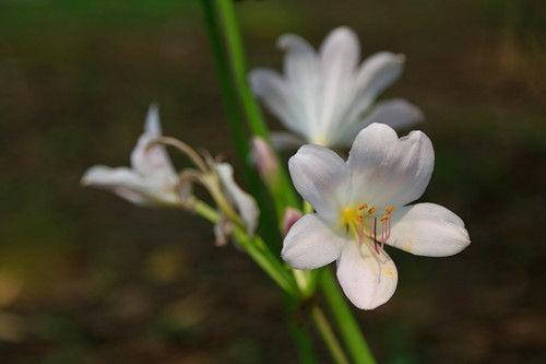 图为:盛开的白色彼岸花。王远