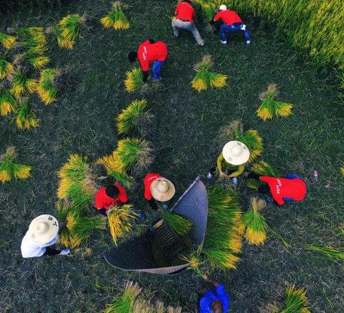 种植高山稻米。章建辉