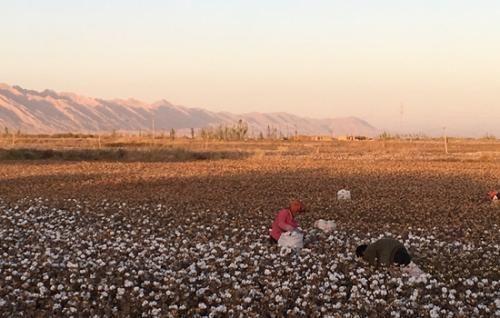 图为阿克苏地区棉田。供图