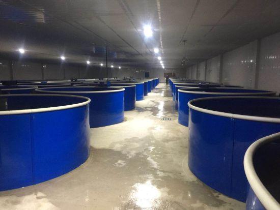 厂房内,40多个巨型的养殖桶中,密密麻麻的鱼儿们正在欢快地游动。王福田 摄