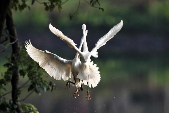 一对白鹭展翅飞翔 梁亦建摄