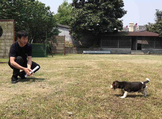警犬基地工作人员训导幼犬演示。张斌摄