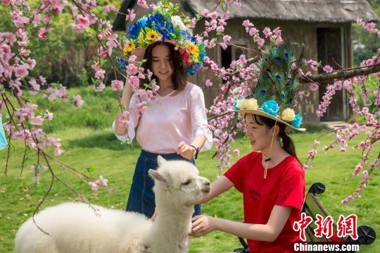 图为:游客头戴花帽与羊驼亲密互动。 张陆沁 摄