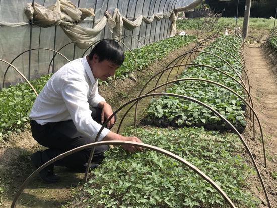 大头村村主任、村高山蔬菜合作社社长吴建华正在田间检查蔬菜育苗情况。 张斌 摄