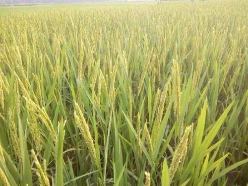 图为杂交早稻在孟加拉国田间 杭州种业集团供图