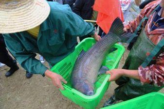 捕获的鱼。蒋子玉 李晨亮摄